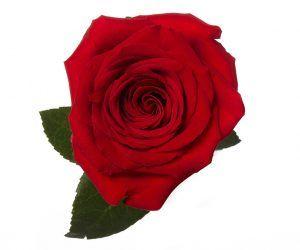 012b29368ee3 Standard Roses – Rio Roses