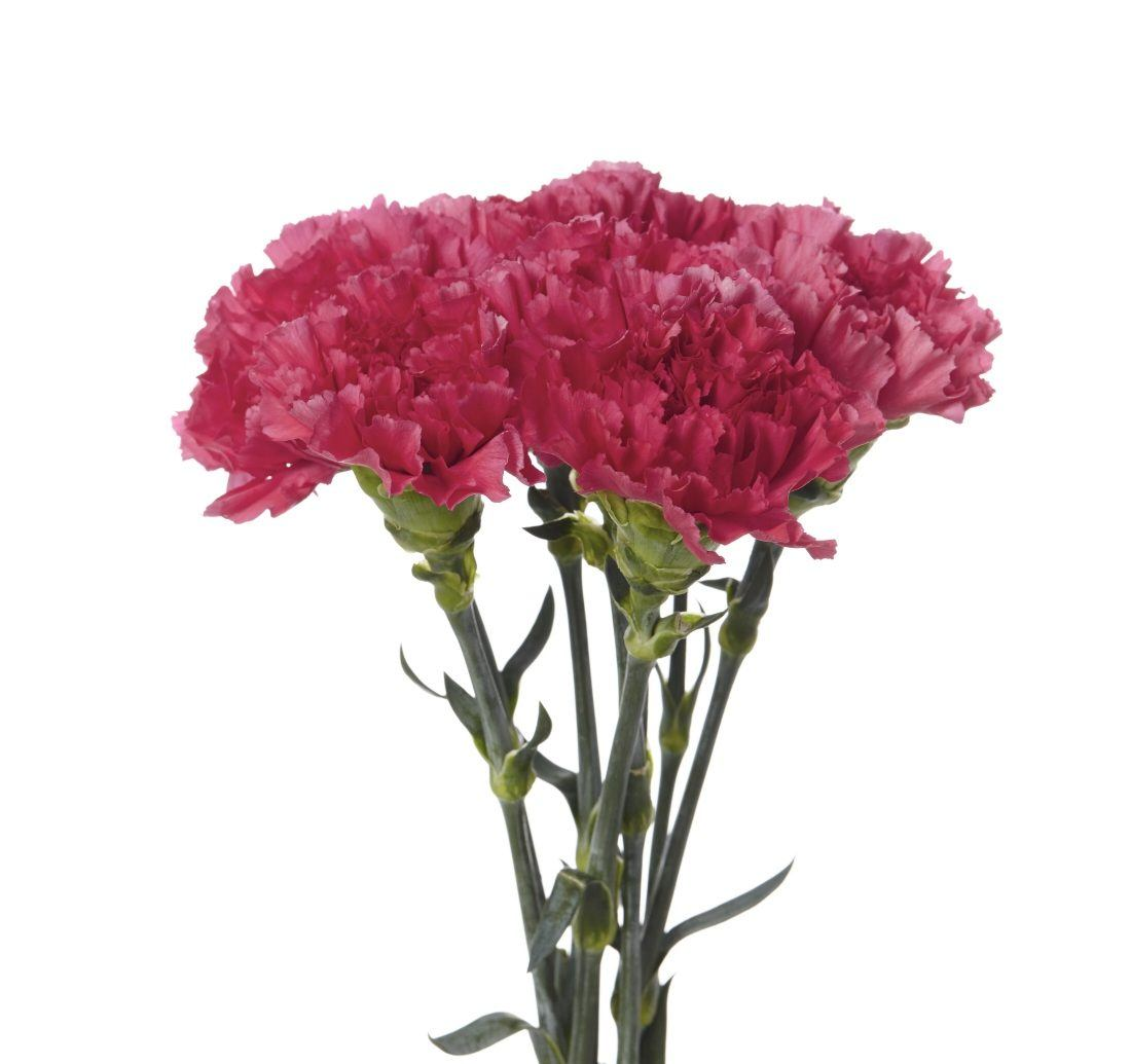 Carnations – Rio Roses