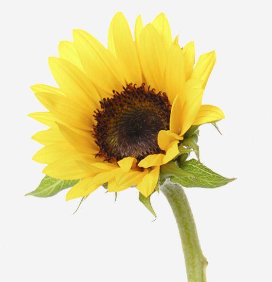 Sunflower Rio Roses