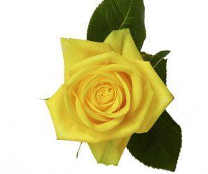 1745370fc1fa Standard Roses – Rio Roses