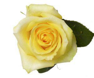 Standard Roses Rio Roses