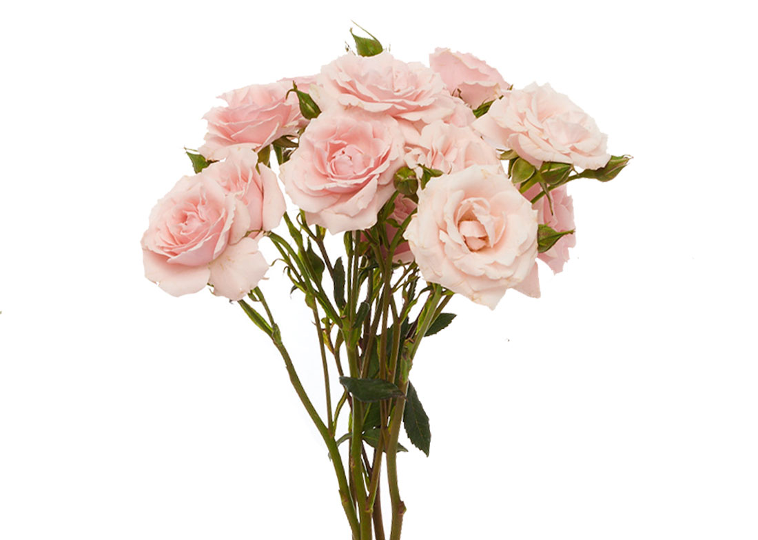 pink-maj-stem-3