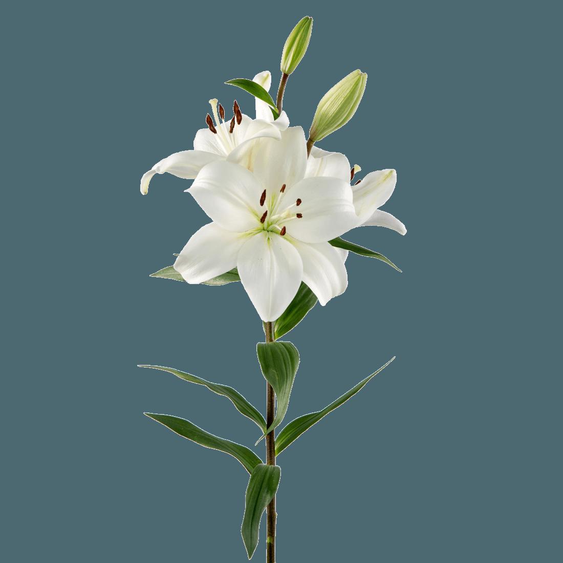 Rio lilies rio roses izmirmasajfo