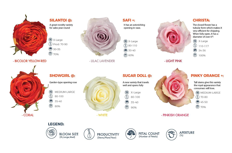 Rio Roses From Dummen Orange Rio Roses