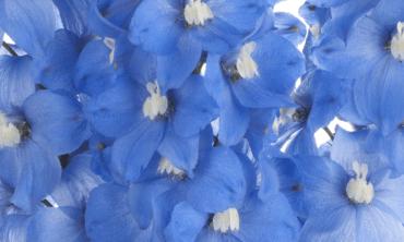 Delphinium Flowers THUMB NAIL