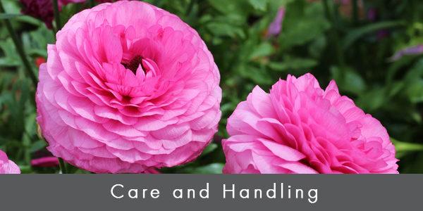 Care & handling ranunculus_blog