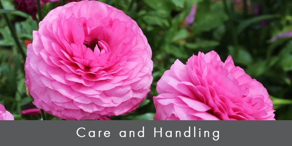 Care & handling ranunculus_blog