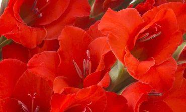 Gladiolus-1505x952_flowers-page